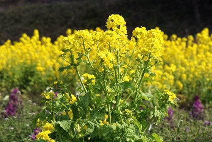 春の黄色い花_b0145296_16051014.jpg