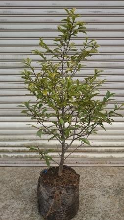 カラタネオガタマ (バナナツリー)_e0202111_20441229.jpg