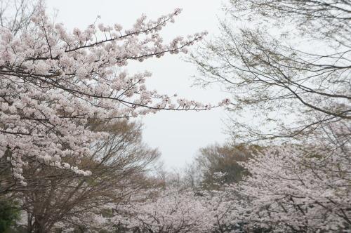 【桜の花が見頃です♪】_f0215714_16410532.jpg