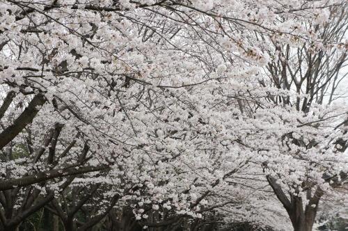 【桜の花が見頃です♪】_f0215714_16411779.jpg