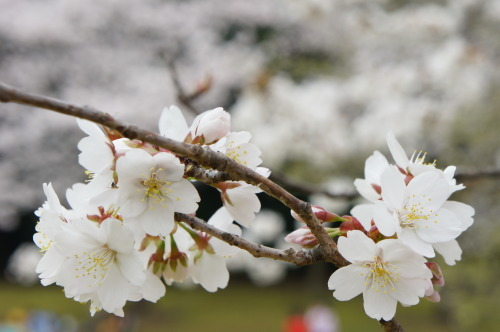 【桜の花が見頃です♪】_f0215714_16413384.jpg