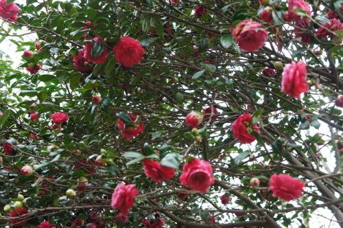 【桜の花が見頃です♪】_f0215714_16420134.jpg