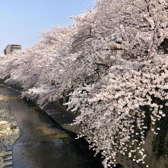 タロウと桜散歩_f0197215_22191797.jpg