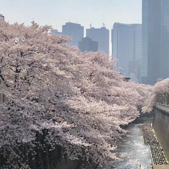 タロウと桜散歩_f0197215_22192162.jpg