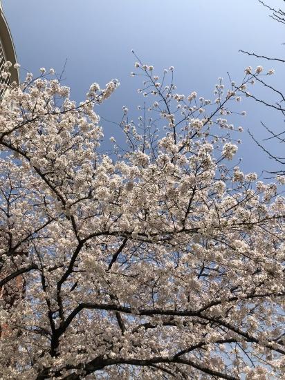 タロウと桜散歩_f0197215_22192620.jpg