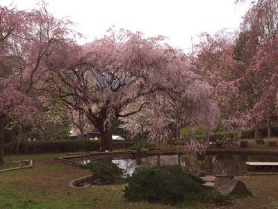 荒井城址公園の桜を見に行ってきたよ_e0234016_14332263.jpg