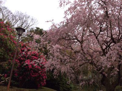 荒井城址公園の桜を見に行ってきたよ_e0234016_14334038.jpg