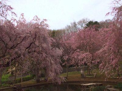 荒井城址公園の桜を見に行ってきたよ_e0234016_14342188.jpg