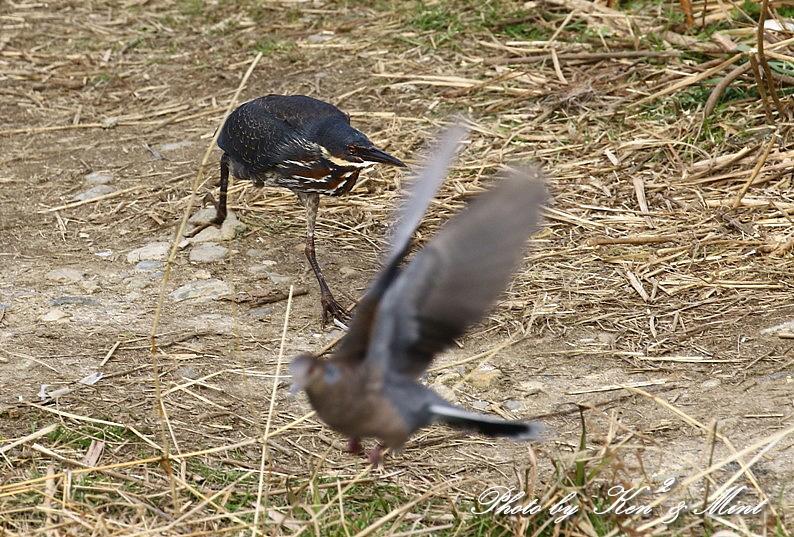 珍鳥「タカサゴクロサギ」さん~Σ^) 続編 (在庫から)_e0218518_19484532.jpg