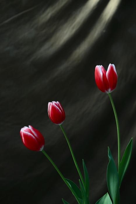 紅いチューリップ2_e0169421_20245392.jpg