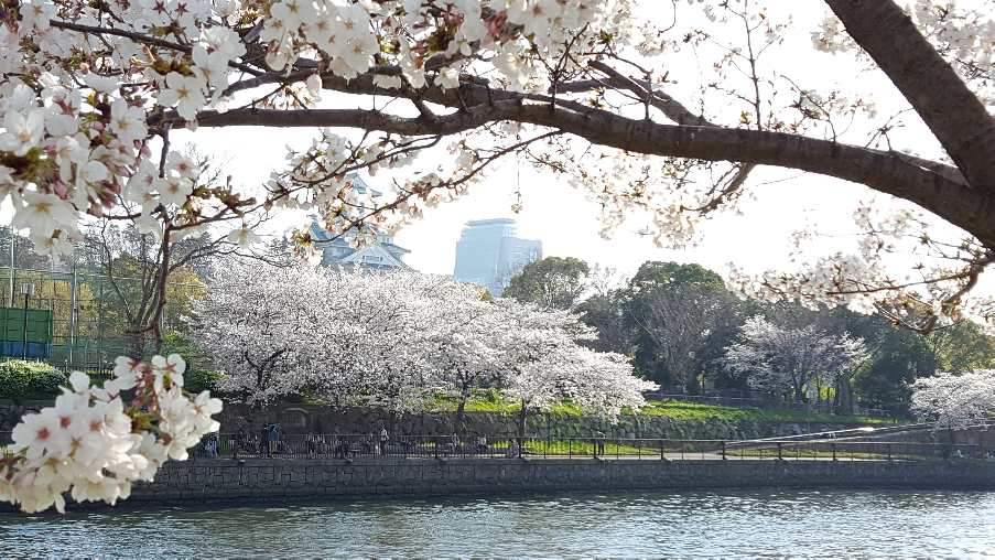 Cherry-blossoms_f0126121_2175225.jpg