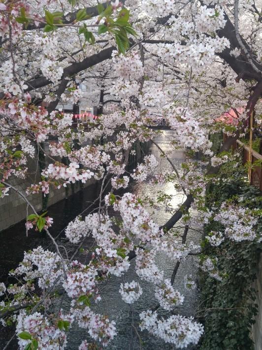 目黒川の桜_c0124528_19314450.jpg