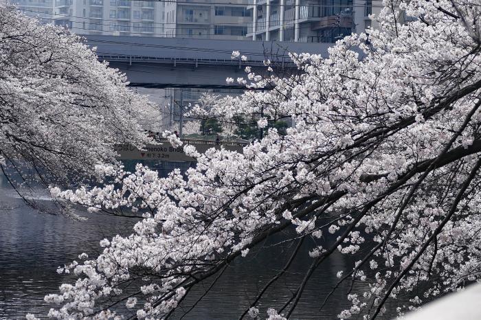 東京都目黒区 「大都会の桜」_d0106628_11475701.jpg