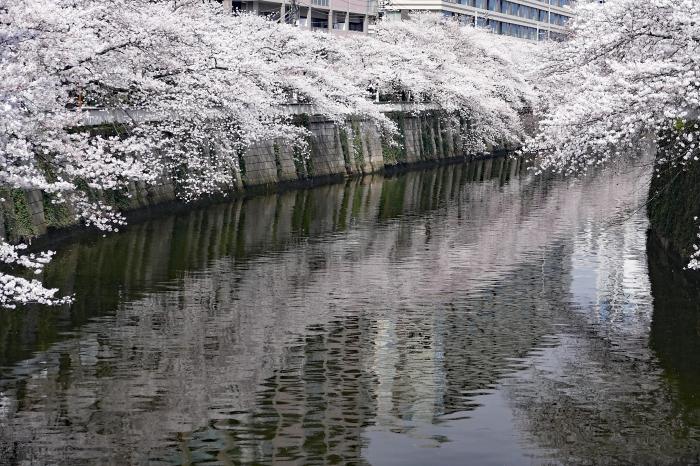 東京都目黒区 「大都会の桜」_d0106628_11483498.jpg