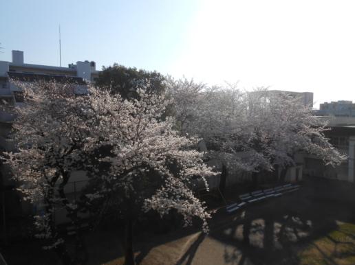 大変!桜が咲いてしまう〜〜。大忙しののび丸誕生日。_a0095931_10232618.jpg