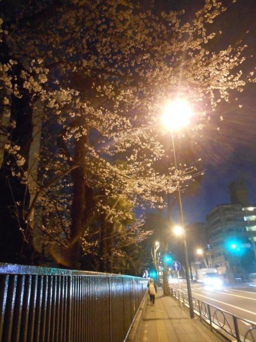 大変!桜が咲いてしまう〜〜。大忙しののび丸誕生日。_a0095931_10325569.jpg
