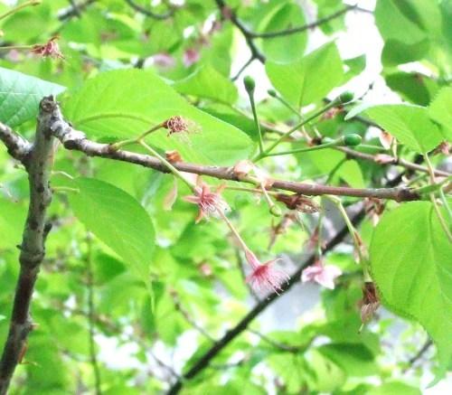 桜~桜...満開寸前..._b0137932_16151181.jpg