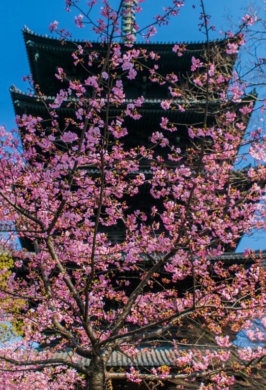 東寺の河津桜_e0363038_10570525.jpg