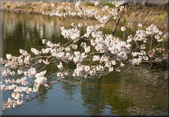 お花見散歩2018 @3月25日_f0363141_12123331.jpg
