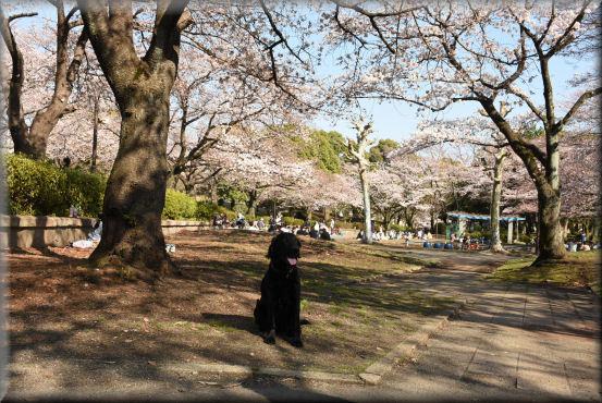 お花見散歩2018 @3月25日_f0363141_12171098.jpg