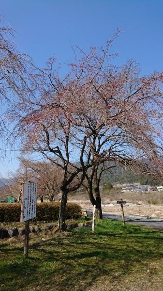 付知町付知川河川敷さくら情報🌸_e0020051_15142163.jpg