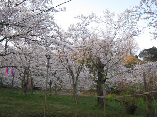 鶴舞公園の桜の開花状況(平成30年3月28日)_c0363752_10411415.jpg