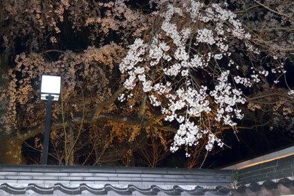 イトザクラ開花です_b0145257_22503843.jpg
