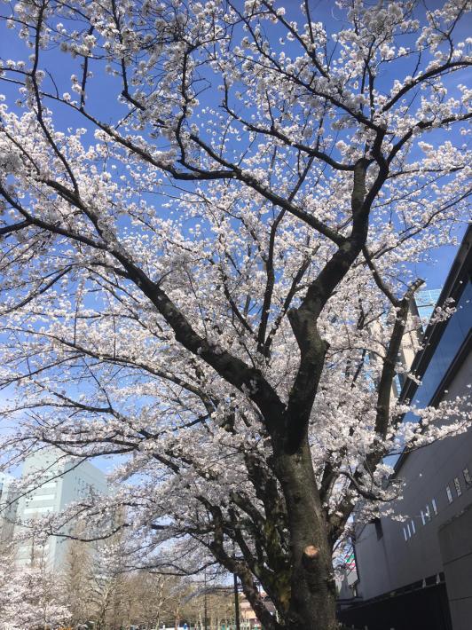 桜満開_b0219170_11255978.jpg