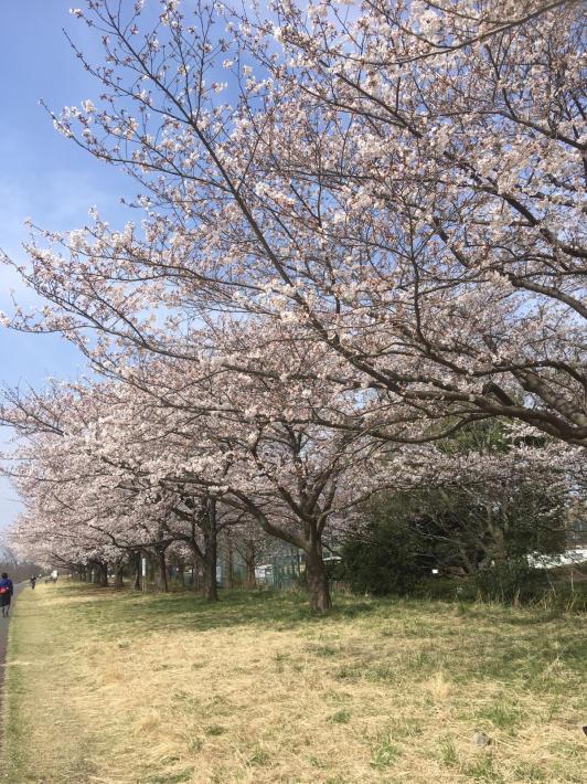 桜満開_b0219170_11275438.jpg