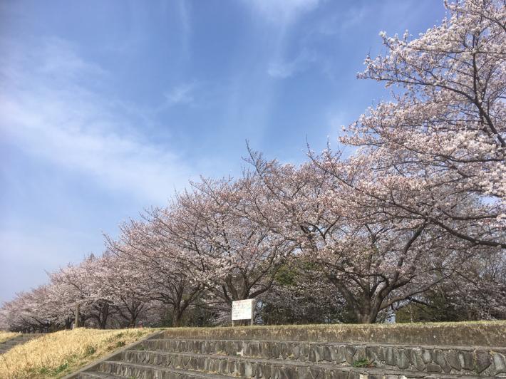 桜満開_b0219170_11280994.jpg