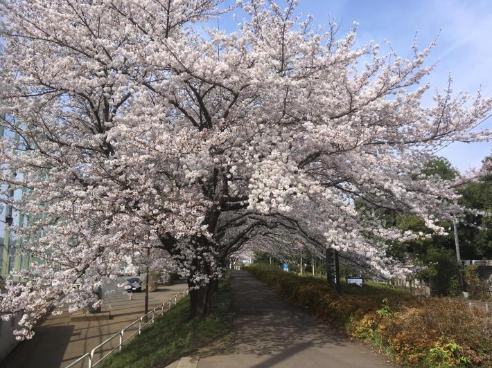桜満開_b0219170_11284717.jpg
