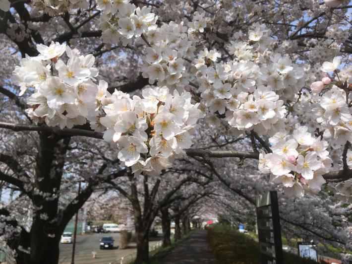 桜満開_b0219170_11290131.jpg