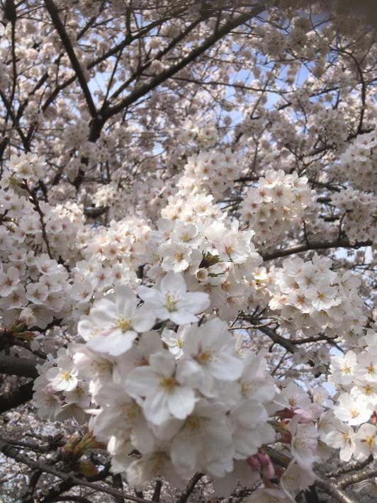 桜満開_b0219170_11295365.jpg