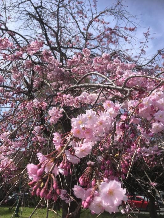 桜満開_b0219170_11315015.jpg
