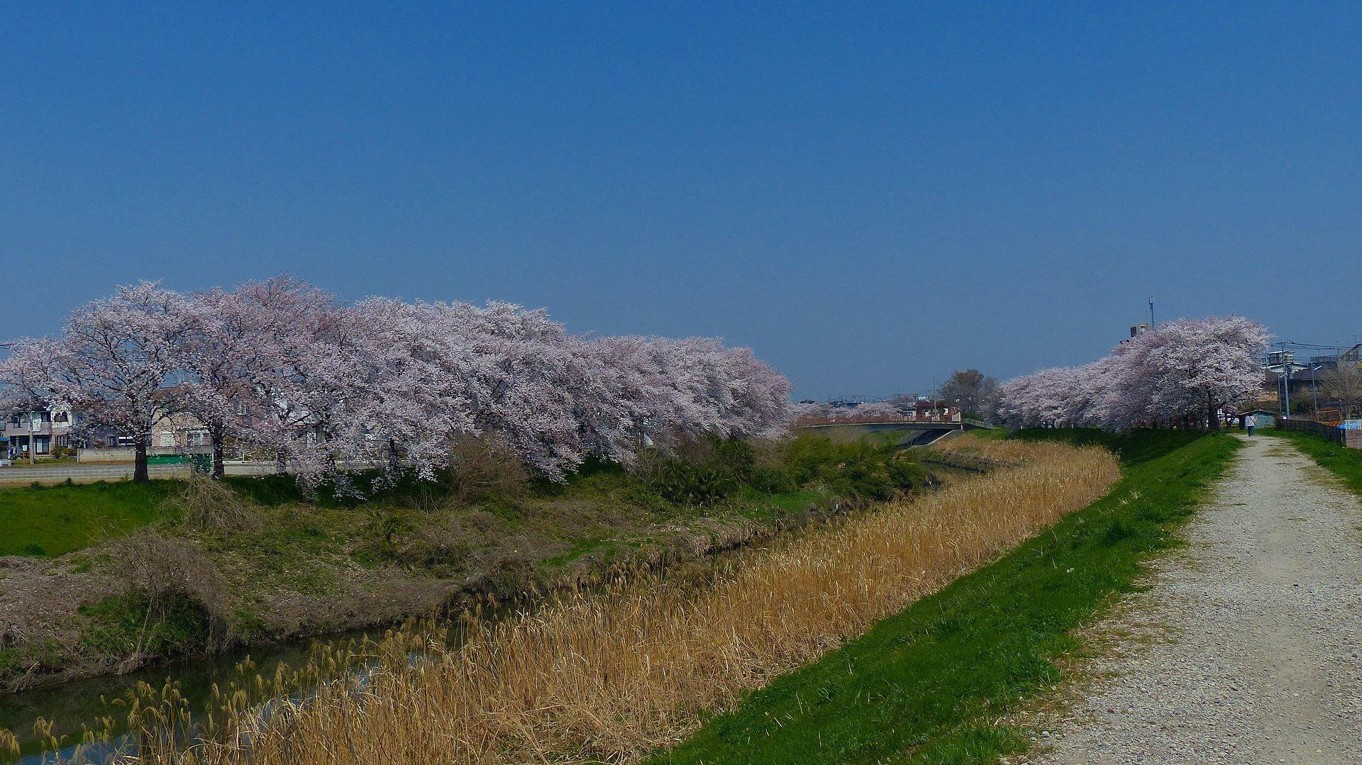 満開の桜を堪能! 【 2018 3/28(水) 】_a0185081_19280377.jpg
