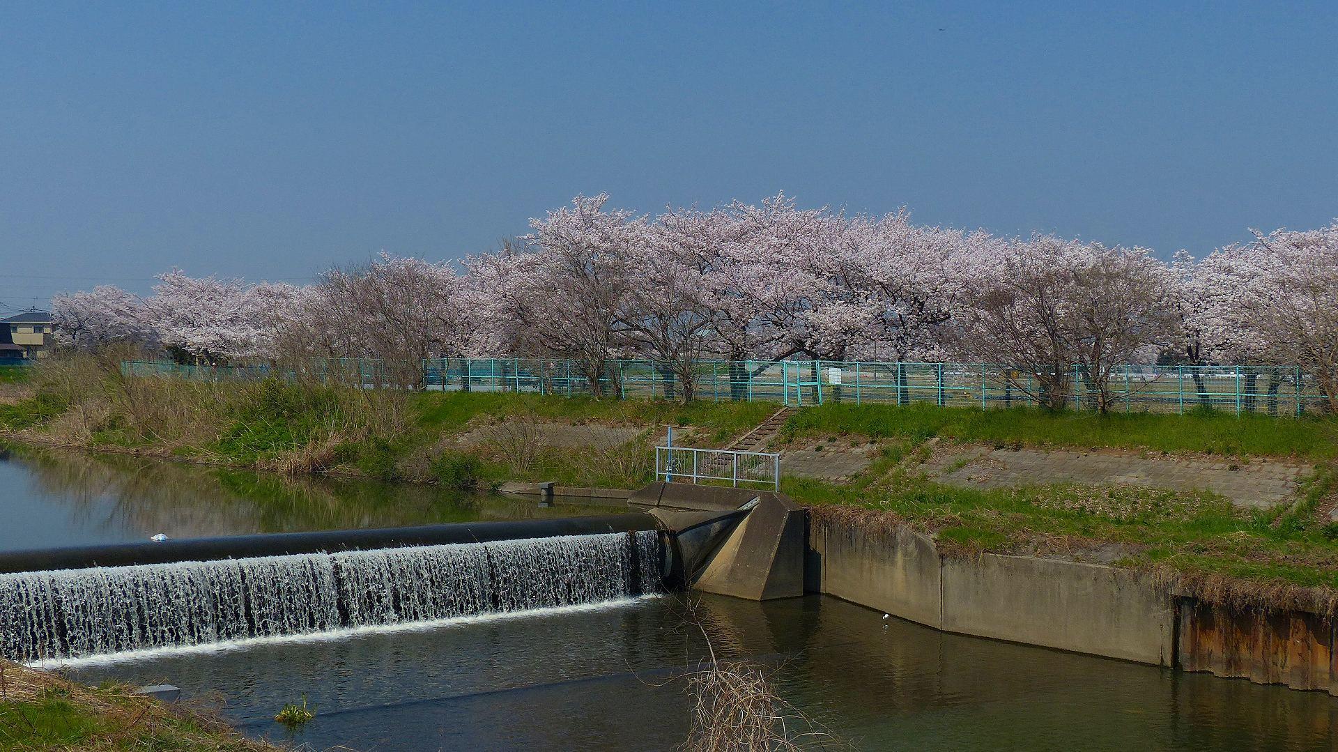 満開の桜を堪能! 【 2018 3/28(水) 】_a0185081_19282942.jpg