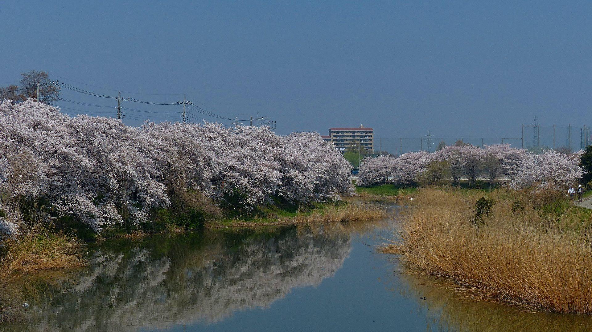 満開の桜を堪能! 【 2018 3/28(水) 】_a0185081_19285546.jpg