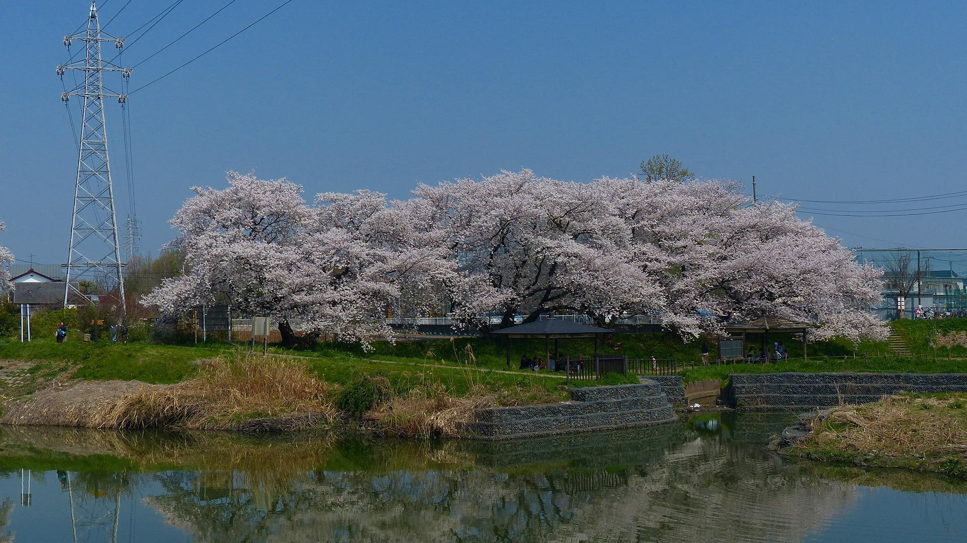 満開の桜を堪能! 【 2018 3/28(水) 】_a0185081_19293760.jpg