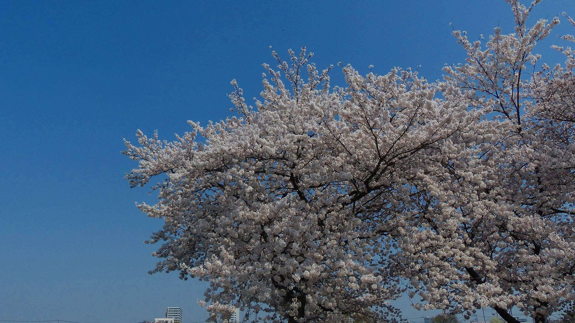 満開の桜を堪能! 【 2018 3/28(水) 】_a0185081_19304457.jpg