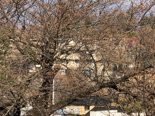 シマヤの裏庭は今桜はこんな感じです。_d0338282_08060730.jpg