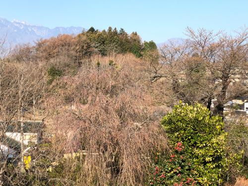 シマヤの裏庭は今桜はこんな感じです。_d0338282_08061323.jpg