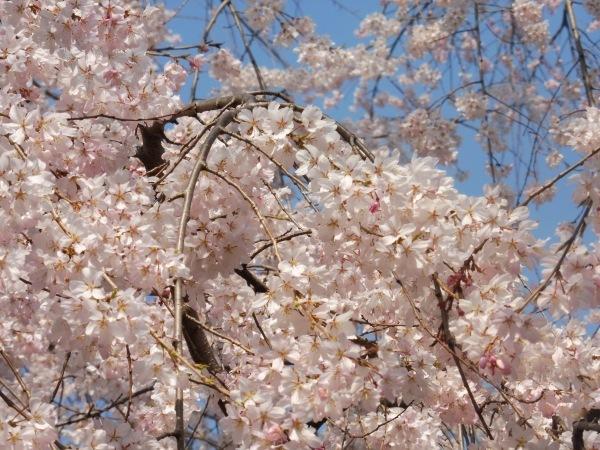 4月15日は京都モーリスホステル 1周年です_d0380390_13340443.jpg
