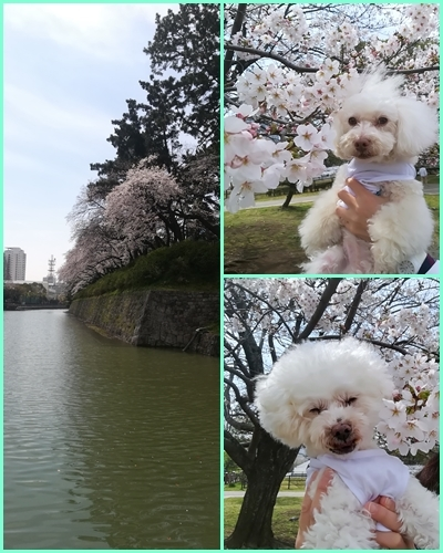 駿府公園でお花見_b0104592_16344747.jpg