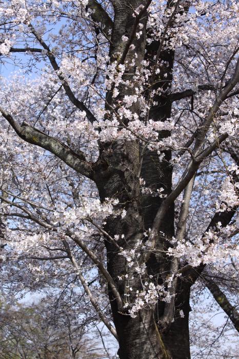 突然の桜 _a0357206_20314571.jpg