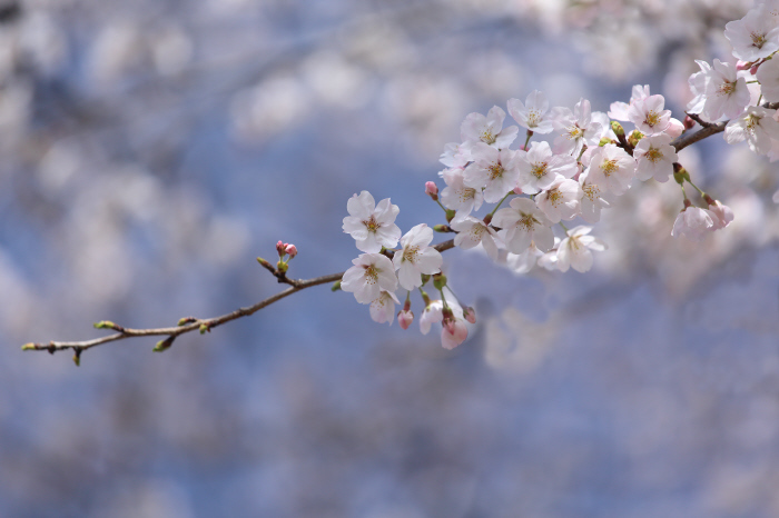 突然の桜 _a0357206_20315585.jpg