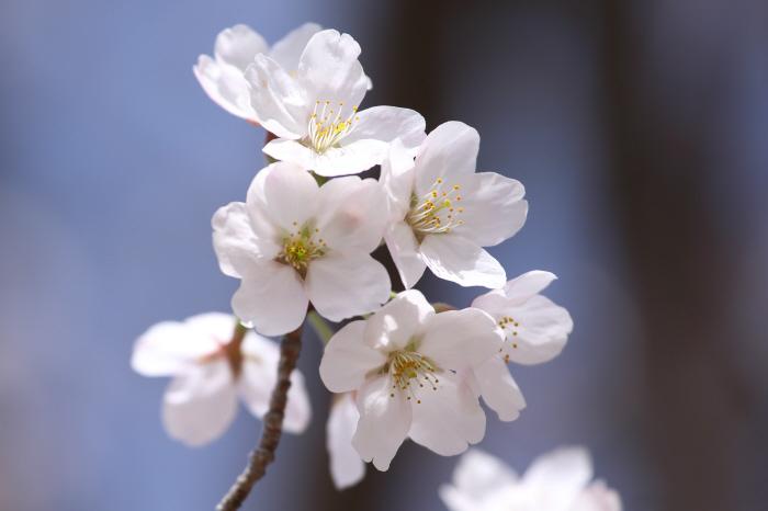 突然の桜 _a0357206_20321666.jpg