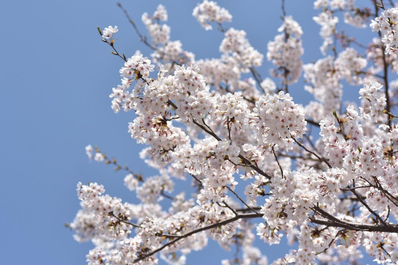 2018 ヴェルニー公園 桜 7_d0065116_20492616.jpg