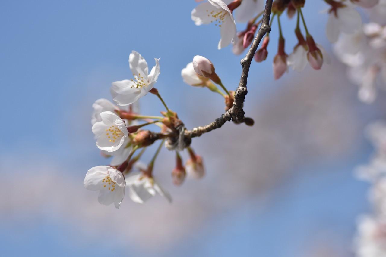 2018 ヴェルニー公園 桜 7_d0065116_20520236.jpg
