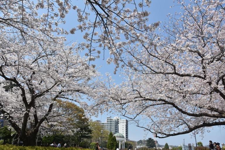 2018 ヴェルニー公園 桜 7_d0065116_20543180.jpg