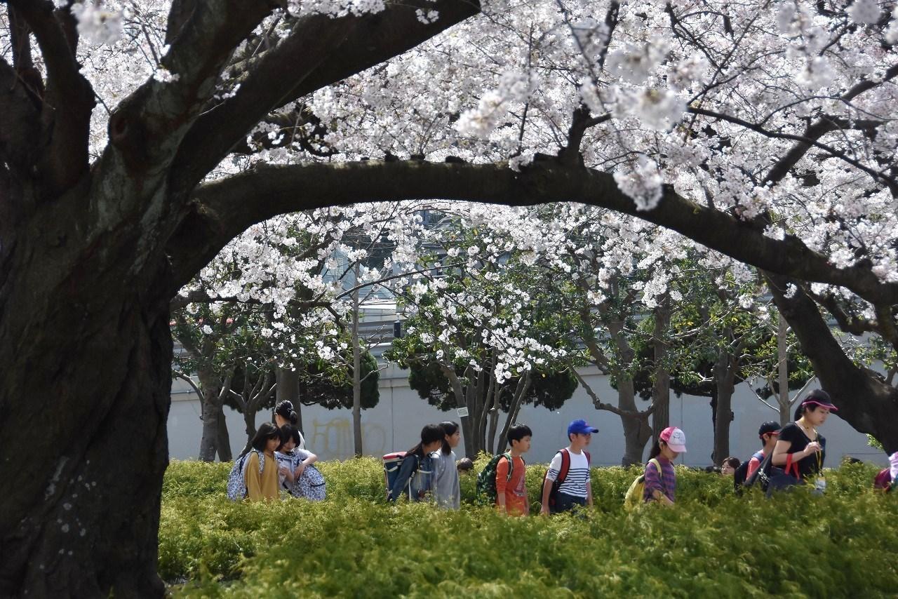 2018 ヴェルニー公園 桜 7_d0065116_20564104.jpg